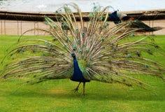 公孔雀在公园 免版税库存图片