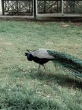 公孔雀在巴黎,法国花卉公园  免版税库存照片
