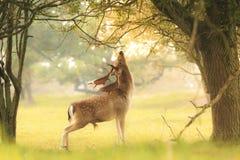 公小鹿,黄鹿黄鹿,搜寻在sunsrise期间 库存图片