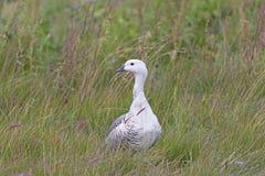 公山地鹅在沼泽地 图库摄影