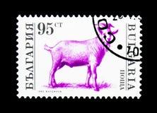 公山羊(山羊属hircus),被驯化的动物serie,大约199 图库摄影
