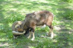 公山羊 免版税图库摄影