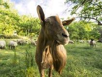 公山羊 库存图片