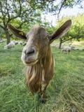 公山羊 免版税库存图片