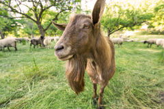 公山羊 库存照片