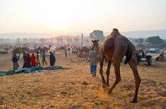 公平普斯赫卡尔的骆驼,拉贾斯坦,印度 图库摄影