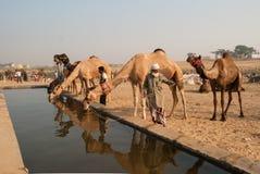公平普斯赫卡尔的骆驼,拉贾斯坦,印度 免版税图库摄影