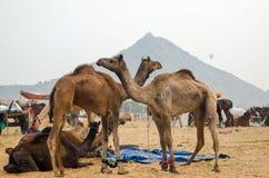 公平普斯赫卡尔的骆驼,拉贾斯坦,印度 免版税库存图片