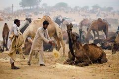 公平普斯赫卡尔的骆驼,拉贾斯坦,印度 免版税库存照片