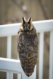 公开地被栖息的罕见的长耳朵猫头鹰 库存图片