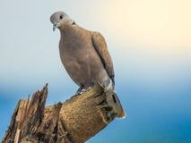 公斑马鸠在树桩栖息并且今后看 免版税图库摄影