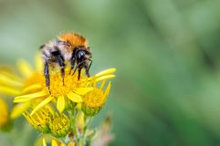 公梳刷的人土蜂,哺养在狗舌草的熊蜂pascuorum 免版税库存照片