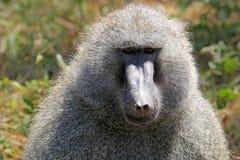 公橄榄色的狒狒 库存照片