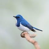 公深蓝色的捕蝇器 免版税库存照片