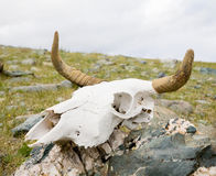 公牛停止的头骨 免版税库存图片