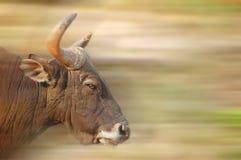公牛充电 免版税图库摄影