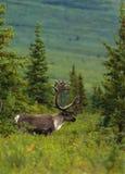 公牛北美驯鹿天鹅绒 免版税库存图片