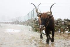 公牛发怒 图库摄影