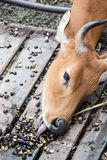 公牛吃茄子的伸手可及的距离舌头 库存图片