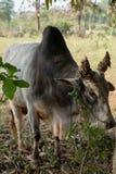 公牛和一些泥的故事 免版税库存照片