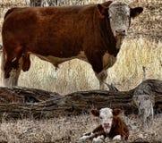 公牛和小牛 免版税库存图片