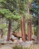 公牛和母牛麋,洛矶山国家公园, CO 图库摄影