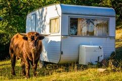 公牛和野营的有蓬卡车 库存图片