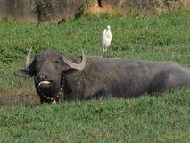 公牛和鸟 免版税库存照片