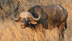 公牛在南非 库存图片