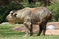 公牛在圣路易动物园里 库存图片