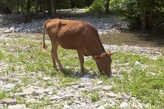 公牛在山河吃草 库存照片