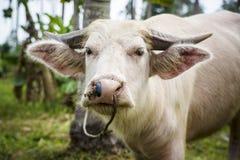 公牛在森林里 图库摄影