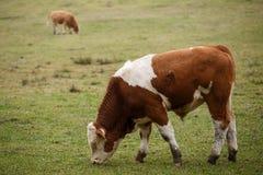 公牛在牧场地 免版税库存照片