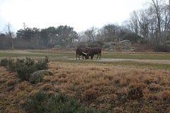 公牛在金黄头公园在利昂,法国 库存照片