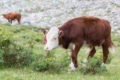 公牛小牛 免版税库存照片
