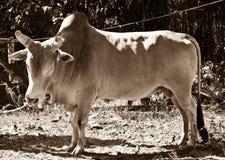 公牛形状 免版税库存图片
