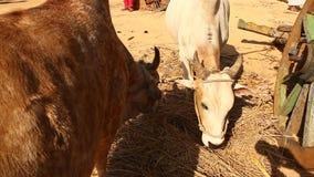 公牛推车在农村家 影视素材