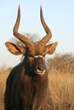 公牛林羚纵向 免版税库存图片