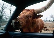 公牛没有 免版税库存照片