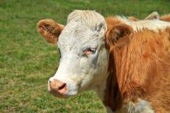 公牛爱尔兰语 免版税库存图片