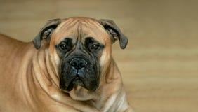 公牛狗大型猛犬 库存照片