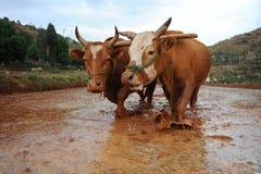 公牛登陆工作 免版税库存图片