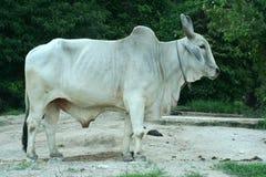 公牛白色 免版税库存图片