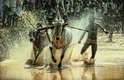 公牛种族在村庄 库存照片
