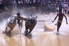公牛种族 图库摄影