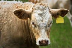 公牛耳朵西门塔尔牛标签黄色年轻人 库存图片