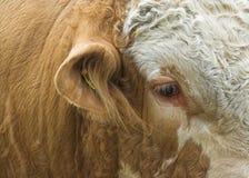 公牛西门塔尔牛 免版税库存照片