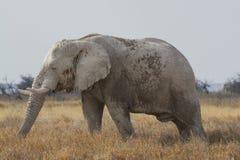 公牛非洲大象在埃托沙国家公园,纳米比亚 免版税库存图片