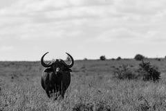 公牛风景-非洲水牛城Syncerus caffer 库存图片