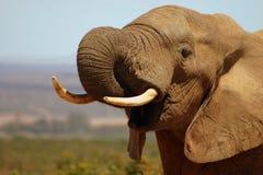 公牛饮用的大象 免版税库存图片